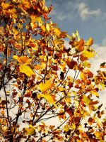Fall Tree by VirginiaRoundy