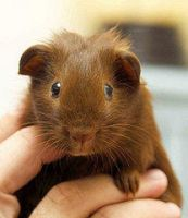 baby guinea piggy by pokesnatural14
