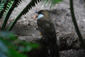 white-throated laughingthrush 1 by meihua-stock