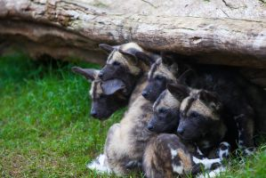 African Painted Dogs ii : pups by weaverglenn