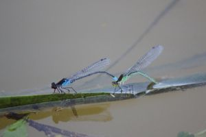 Damsel Flies by rogerdurling
