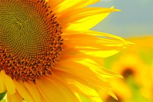 Sunflower 01 by MeszesPhoto