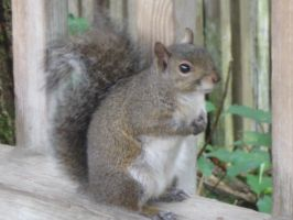033 gray squirrel by crazygardener