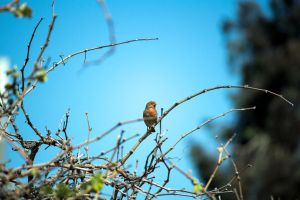 Finch on Grapevine by dannypyle