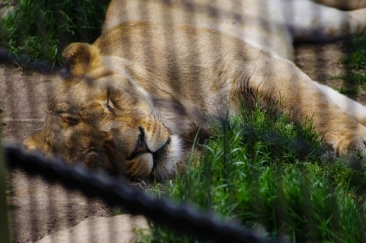 Sleeping Lion by laughlady99