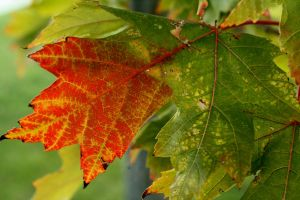 Autumn Leaf by Andrew-Bowermaster
