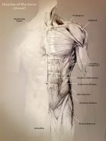 School anatomy studies: Torso muscles by Travis-Anderson