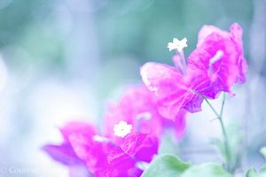 Bougainvillea by PennyHorrible