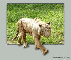 White tiger by ditya