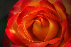 YELLOW ORANGE ROSE 2 by THOM-B-FOTO