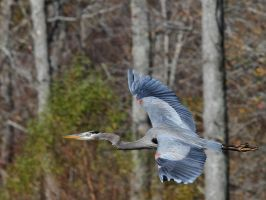 The Flight of the Blue Heron by JAHarrell