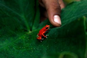 Red frog by Arturoj