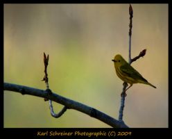 Yellow Warbler 1 by KSPhotographic