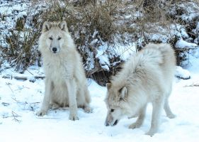 Arctic Wolves XXVI by White-Voodoo
