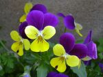 violet and yellow stock by j-asha