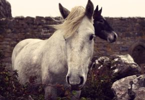 Connemara Pony by fae-photography