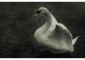 The swan spoke to me by hypnose77