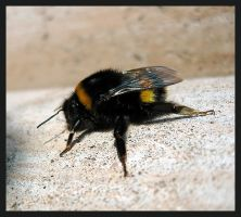 bumble-bee by pzc