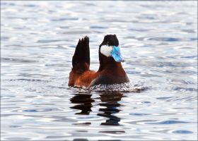 What A Ruddy Duck by Behrfeet