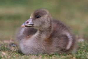Fluffy Gosling by cycoze