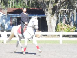 white horse extended trot by LHS-Stable