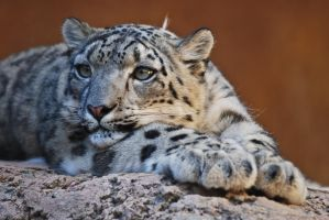 01089 Snow Leopard by Yellowstoned