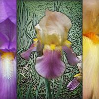 Iris Abstract by MuseSusan