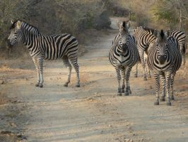 Plains Zebra by CharmzPhotoz
