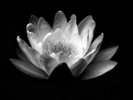 Black and white water Lily. by whackeyjackie