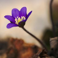 Anemone hepatica #7 by perost