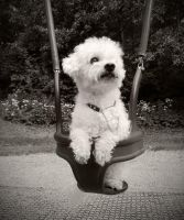 Bichon Frise in a Swing by JoBusty