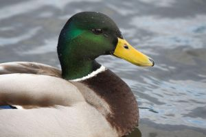 Duck II by syrus