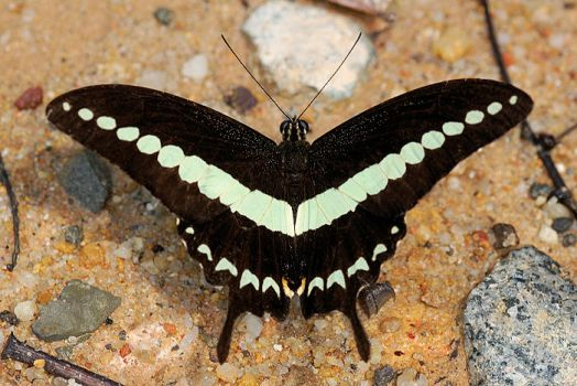 Banded Swallowtail 100309 2 by inckurei