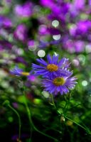 Purple Daisies by WhateverAngie