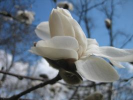 Magnolias in Bloom 2 by darchiel