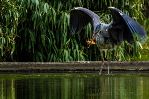 Fishing Heron by BrianBarnhart