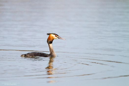 Great Crested Grebe by DominikaAniola