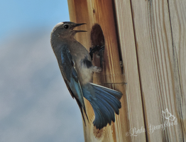 Busy Mother Mountain Bluebird by Myriadelle
