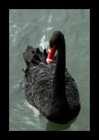 That Swan... by jake10684