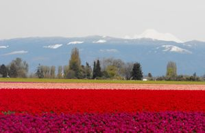Multi-Color Tulip Rows I by Photos-By-Michelle