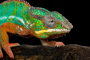 The colourful chameleon by AngiWallace