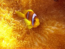 Gold clown fish by scubapic
