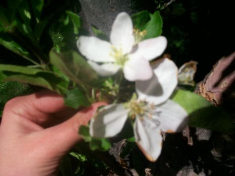 flowers from my apple tree by theacademyislove