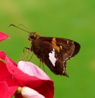 Silver Spotted Skipper by duggiehoo