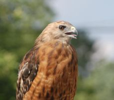 Red Shouldered Hawk by Guard-of-the-Citadel