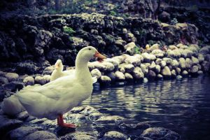 Lomo Duck by spunkyreal