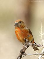 Red Crossbill by austinboothphoto