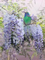 Hummingbird and Wisteria by KathleenCasey