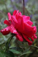 Rose Stock 07 by Malleni-Stock