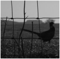 Countryside: Pheasant. by piskieheart
